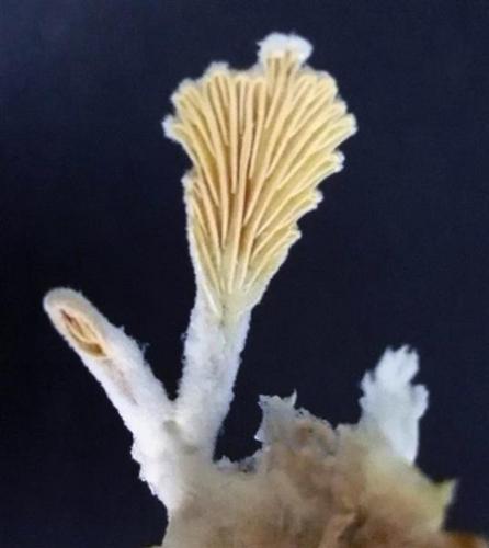 日本复活出2000万年前香菇 或有助人类进化研究