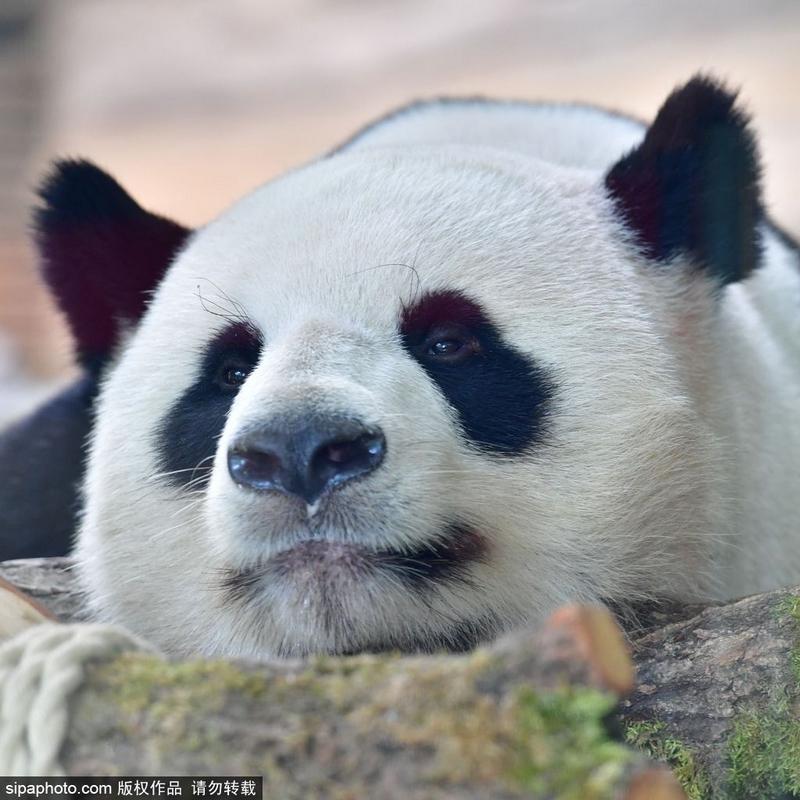 """来自四川成都大熊猫繁育研究基地的""""梦梦""""和""""娇庆""""在柏林动物园中自由"""