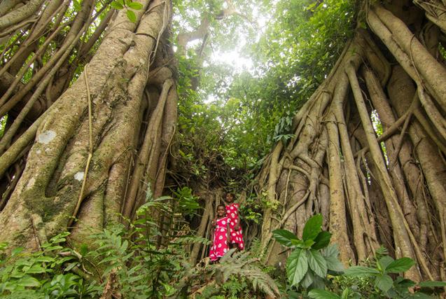 独木成林!孟加拉500岁榕树根部自成森林