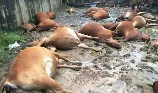 山西40头肉牛遭雷击暴毙 或因系全钢铁结构牛场(图)