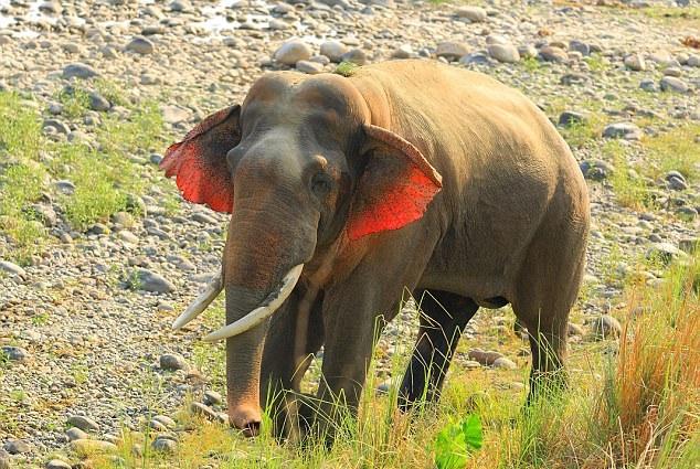 神奇!印度科比特国家公园现红耳大象