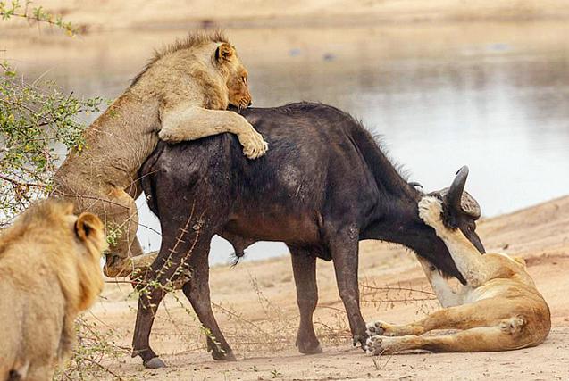 南非水牛遭狮群围攻 孤立无援成盘中餐