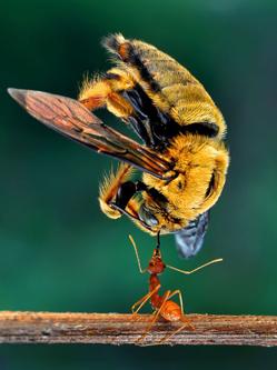 印尼蚂蚁轻松举起体形大其5倍蜜蜂