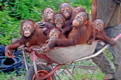 婆罗洲猩猩宝宝坐推车搬家 一脸呆萌