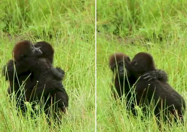 暖心!刚果两只小猩猩玩耍打闹后互相拥抱