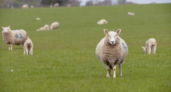 """史上最无聊 """"数羊""""电影将在伦敦首映 时长达8小时"""