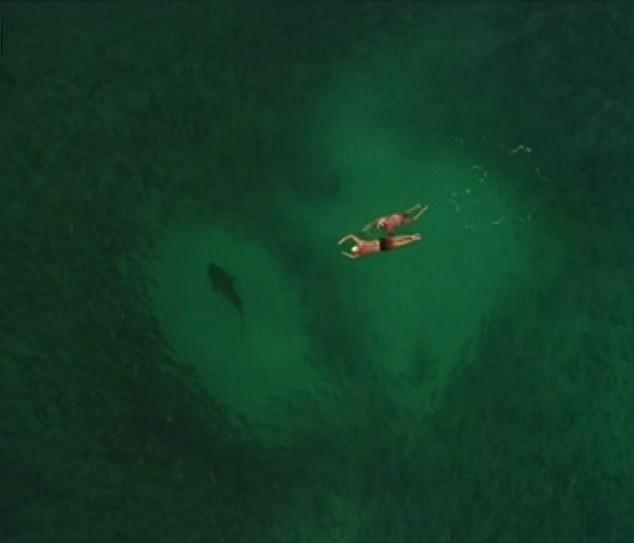 """无人机航拍鲨鱼群 两潜水者""""与之共舞"""""""