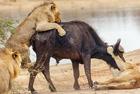 水牛遭狮群围攻成盘中餐