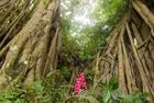 孟加拉500岁榕树自成林