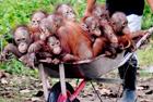 婆罗洲猩猩坐推车搬家