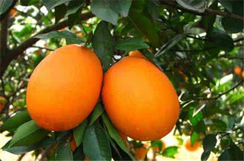 赣南脐橙小镇入选市第一批特色小镇创建名单