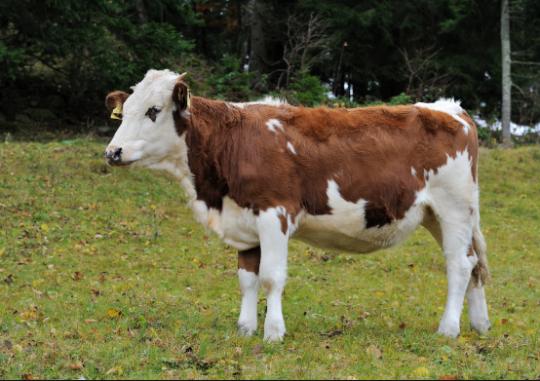 牛能快速产生广泛中和抗体对抗HIV