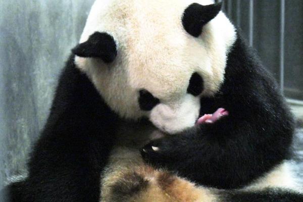 """成都大熊猫""""二巧""""首当妈 呆萌照片亮了"""