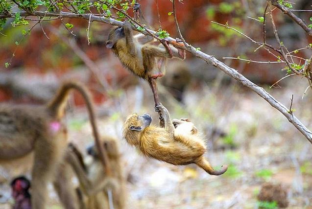 南非狒狒抓住同伴尾巴倒挂似做体操