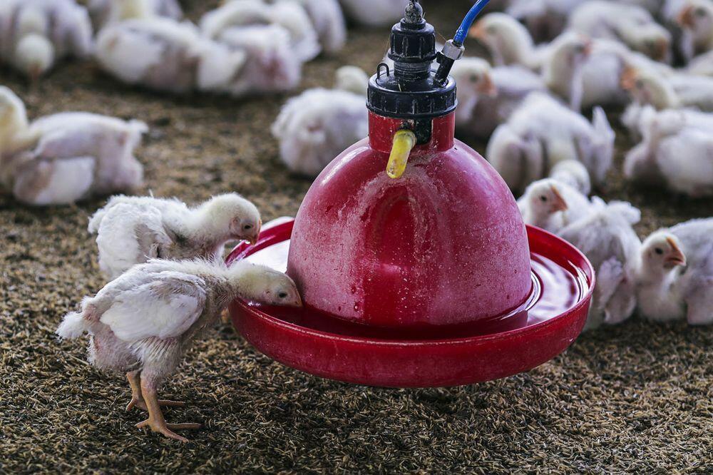 美媒:印度家禽养殖场成超级细菌培育基地