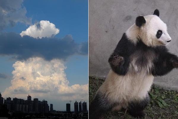 """成都现云朵奇观 似""""熊猫上天"""""""
