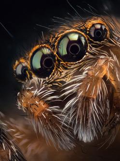 摄影师微距拍跳蛛 四只眼睛似外星生物