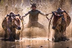 摄影师实拍印尼赛牛大会 选手泥地狂欢