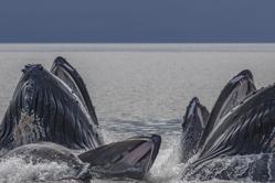 """摄影师捕捉座头鲸吐泡泡""""狩猎""""场景"""