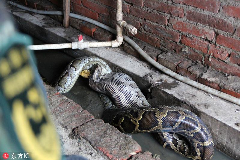 """2.6米蟒蛇闯民宅偷鸡 兵哥两小时""""缉拿归案"""""""