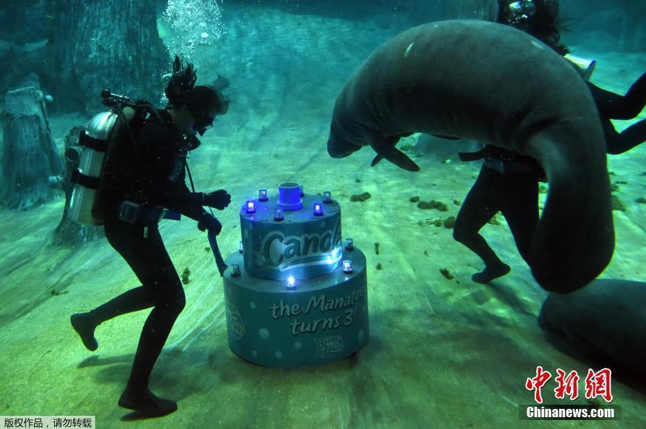 300公斤海牛庆生 饲养员潜水送蛋糕