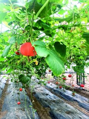 探秘航天育种蔬菜瓜果大棚 太空果蔬并非小怪物