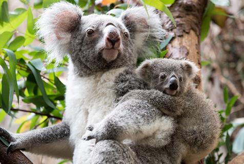 德国动物园呆萌考拉宝宝 镜头感十足
