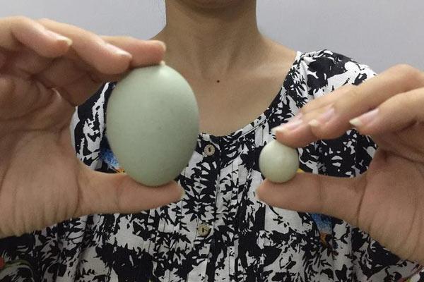 农户发现迷你鸡蛋 直径不到2厘米