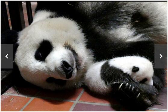 上野动物园为熊猫宝宝征名 日本网民热议:太期待了