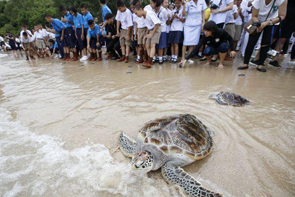 泰国放生1066只海龟 为国王65岁诞辰日祈福