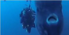 新西兰发现翻车鱼新品种 体型巨大重两吨