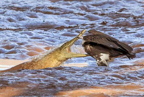 非洲秃鹫水沟旁淡定觅食 遭鳄鱼突袭