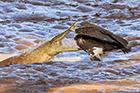 秃鹫淡定觅食遭鳄鱼突袭