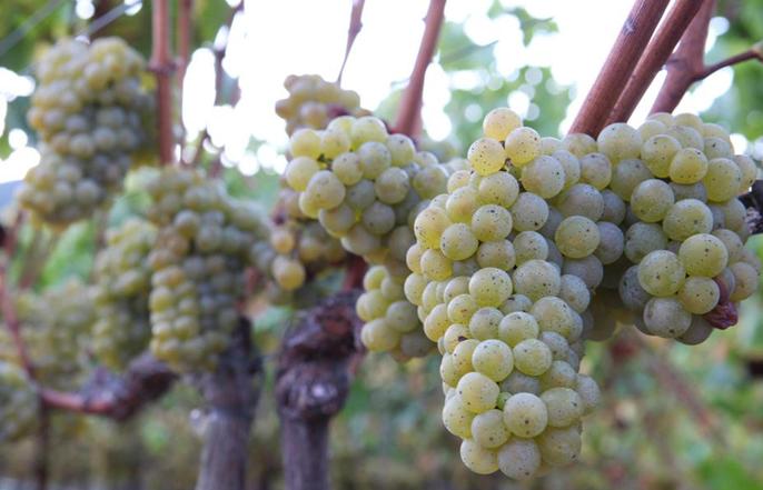 黑科技无敌 葡萄酒酿造也要智能化