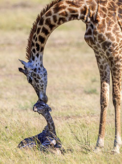 新生长颈鹿蹒跚学步获妈妈亲吻鼓励