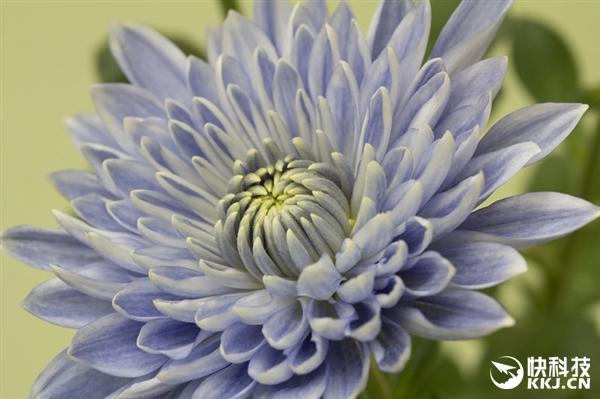 全球首株蓝色菊花在日本诞生!被惊艳到了