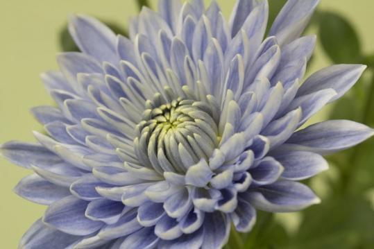 全球首株蓝色菊花在日本诞生
