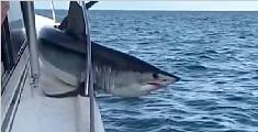 美灰鲭鲨跳上渔船被卡护栏 奋力挣扎欲摆脱