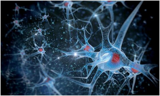 """研究显示:大脑植入干细胞或可""""延年益寿"""""""
