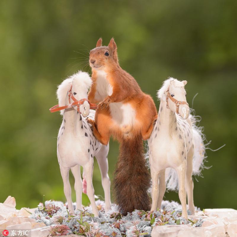 2017年8月2日报道,这组逗乐的照片显示两只小松鼠像是在练习骑马,其中