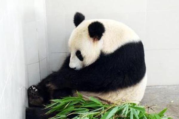 """大熊猫""""海子""""产双胞胎 创大熊猫产仔最高年龄纪录"""