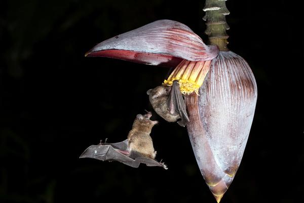 小蝙蝠吸食花粉享用大餐 二货小伙伴咬屁股偷袭