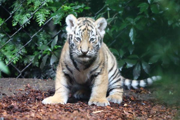 德国汉堡小老虎动物园园中闲逛 充满好奇