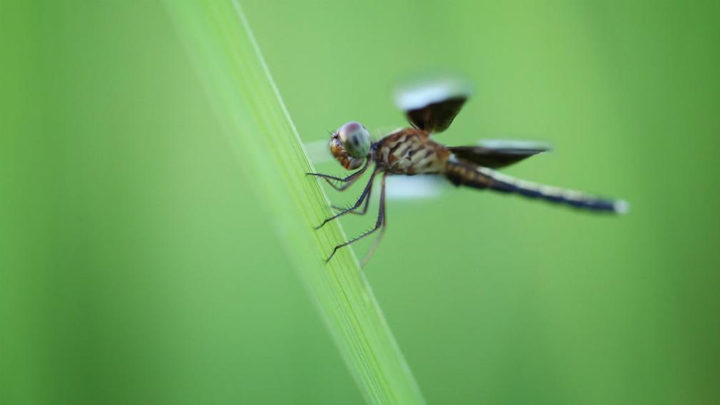 蜻蜓不进食能飞越印度洋 无人机为何做不到?