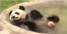 熊猫洗澡洗嗨 实在是太可爱了