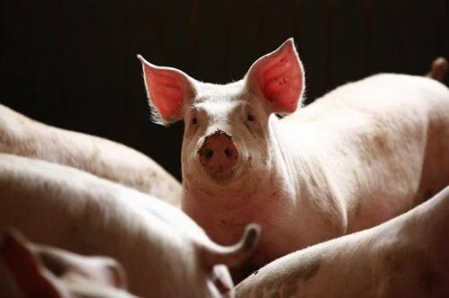 日本研究猪胰岛细胞移植人体 未来或实用化