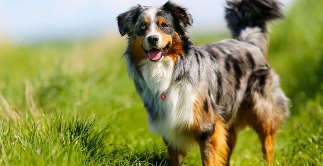 狗狗是人类的好朋友 盘点最聪明的5类犬种