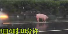 交警高速路冒雨捉猪