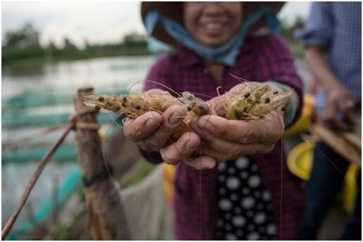 越南农民靠养虾致富 环保人士忧心收益短暂