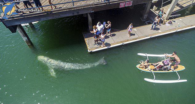 """美""""糊涂""""幼鲸意外被困港口 与游客近在咫尺"""